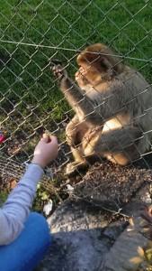 2014-10-09 Zoo Ebbs Affe_2